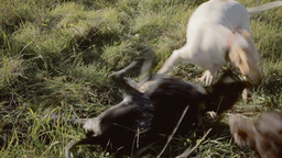 Dogs playfighting with audio Footage