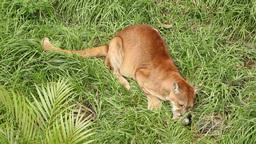 Puma feast Footage