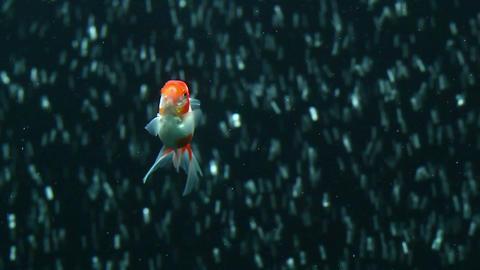Red oranda goldfish HD Footage