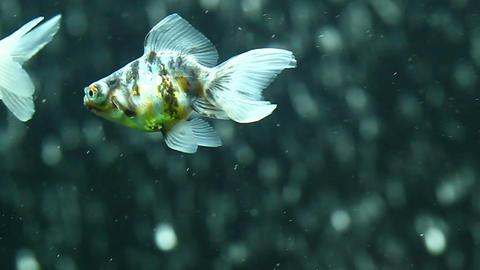 Calico telescope goldfish HD Footage