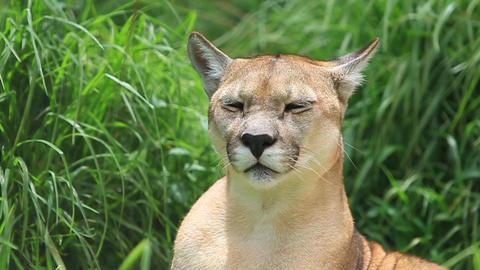 Puma headshot Footage
