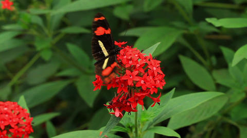 Postman Butterfly Close Up stock footage