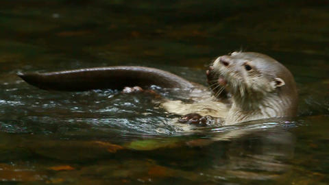 Wild river otter Live Action