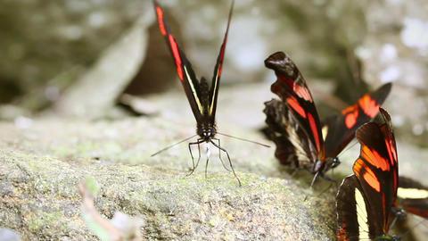 Postman butterfly Footage