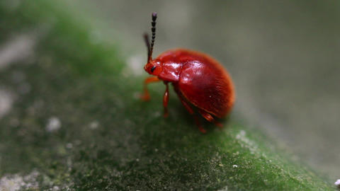Red Lily Beetle Footage