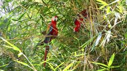 Wild Ara Macao parrots Footage