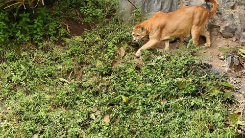 Puma concolor Footage