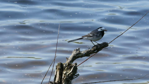 White Wagtail (motacilla Alba) With Caught Fly In Its Mouth stock footage
