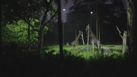 singapore night safari - giraffes Live Action