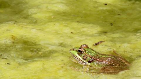 Pond Frog Jump C Footage