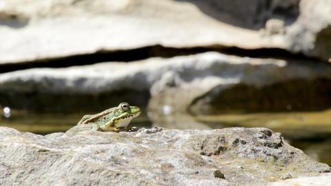 Pond Frog Jump D Footage
