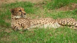 Cheetah stock footage