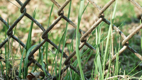 grass in wind behind rusted metal fence focus to the left Footage
