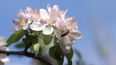 Bee Pollinating Spring Flowers Footage