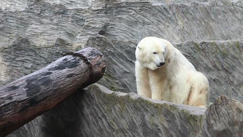 Bear Zoo stock footage