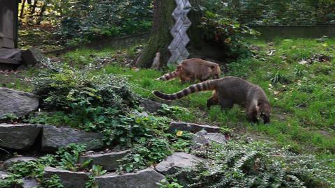Coati Zoo Footage