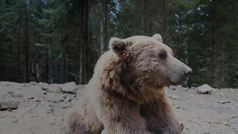 Brown bear in Carpathian mountains, Ukraine Live Action