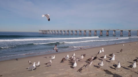 Feeding seagulls on the Hermosa beach in California, USA Footage