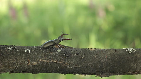 Lucanus or stag beetle crawling on a branch Footage