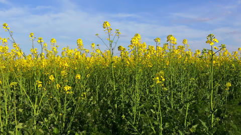 Rapeseed Field And Blue Sky stock footage