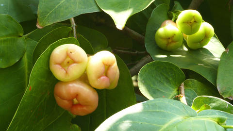 Rose apples or chomphu fruits on tree Footage