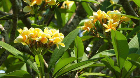 yellow branches of flowering plumeria Footage