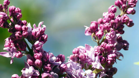 pink flowers in the garden on a blurred background Footage
