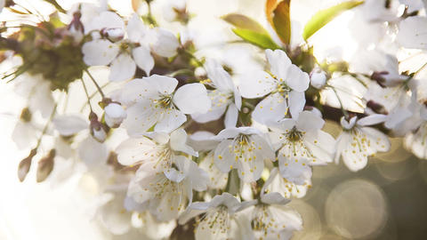 Beautiful white flower on the cherry branch, dof Footage