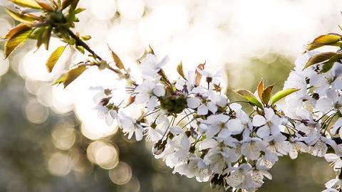 Branch of apple tree against the sunlight bokeh Footage