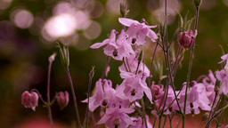 Delicate Pink Bell-Shaped Flowers in Wind With Bokeh Footage