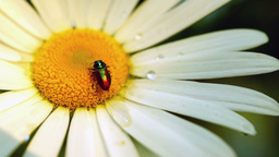 Daisy (Chrysanthemum Leucanthemum) With Water Drops And Bugs Footage