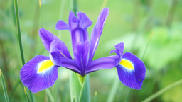Blue Iris Flower In Spring Footage