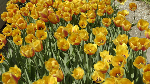 Beautiful yellow and orange tulips at botanical garden. 4K UHD Footage
