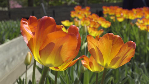 Beautiful Yellow And Orange Tulips At Botanical Garden. 4K UHD stock footage