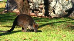 Kangaroo Stock Video Footage