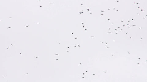 Flock of birds 4 Stock Video Footage