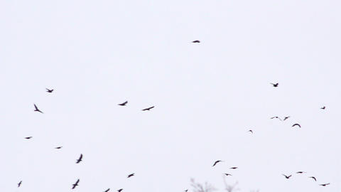 Flock of birds 6 Stock Video Footage