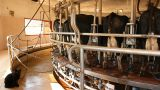 Milking Cows in the farm Cow Milk dairy barn cowshed Footage