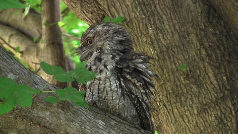 Tawny Frogmouth Stock Video Footage
