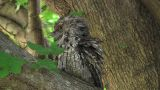 Tawny Frogmouth Footage