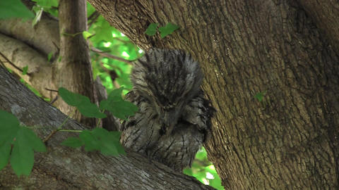 Tawny Frogmouth Searching Stock Video Footage
