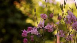 Bell-Shaped Flowers(Aquilegia Vulgaris Or European Columbine)In Wind With Bee Footage