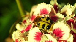 Beetle Revival In The Morning Sun On a Flower Moved By Wind Footage