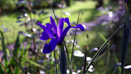 Blue Iris Flower In Spring With Ant Footage