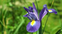 Blue Iris Flower in Sun 圖片
