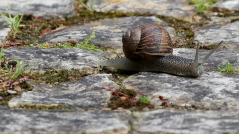 Comum Garden Snail Crawling A 159s stock footage