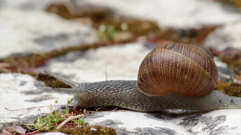 Comum Garden Snail crawling C 2 29s Footage