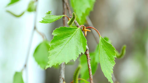 Birch catkin Footage