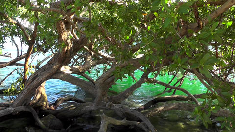 Mangrove trees. Mangrove bushes. Mangrove thickets. Trees in water. Lagoon Footage