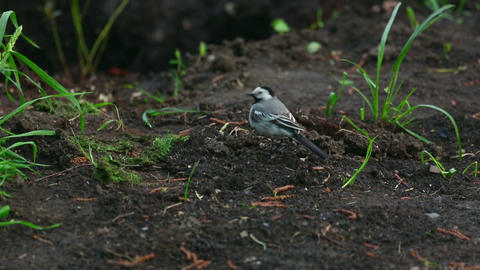 Wagtail Live Action